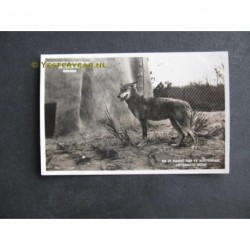 Rhenen 1933 - ontsnapte wolf
