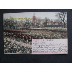 Uitgeest 1902 - Tulpenveld