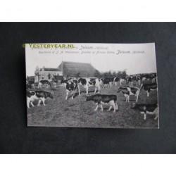 Jelsum ca. 1915 - Boerderij van J.A.Wassenaar - koeien